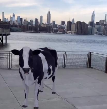 Google-haussa pääsee tarkastelemaan 3D-malleja eläimistä ja niitä voi sijoittaa osaksi kamerakuvaa ympäristöstä. Tässä esimerkkinä lehmä.